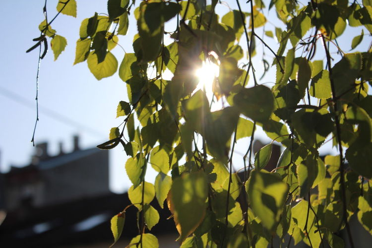 Sun shining through the green leaves. Beauty In Nature Day Focus On Foreground Leaf Low Angle View Nature No People Outdoors Sky Sun Sunlight Tree