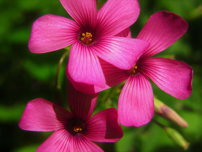 Oxalis Oxalis Corymbosa Close-up Flower Flower Head Nature No People Outdoors Petal Pink Color Plant Purple