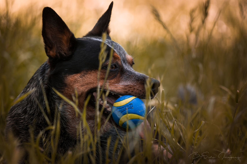 Blue playing ball Pets Animal Domestic Animals Dog Grass Outdoors Animal Themes No People Portrait Nature Close-up Lost In The Landscape Popular Photos EyeEmBestPics Eye4photography  EyeEm Gallery Fine Art Photography Selective Focus Dogs Dogs Of EyeEm Ball Playing Color Photography Color Pet Portraits