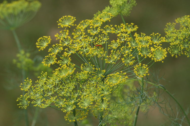 Beauty In Nature Close-up Day Dill Growth Herbs Nature No People Outdoors Plant