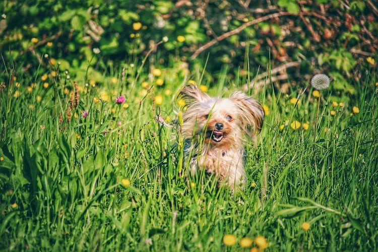 Portrait of yorkshire terrier amidst grass