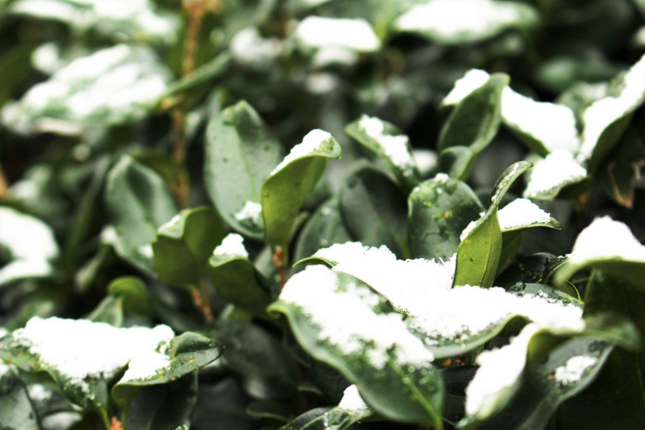 green color, nature, winter, snow, no people, outdoors, cold temperature, growth, plant, day, beauty in nature, freshness, leaf, close-up, food