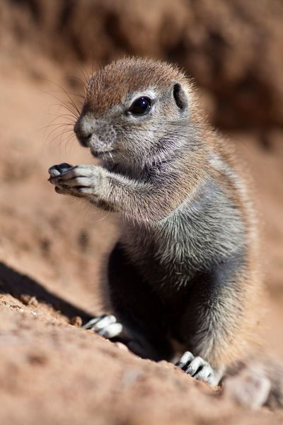 Gopher  Gopher  Gophers ❤ African Beauty African Nature Nature Beauty In Nature Beautiful Nature Wildlife & Nature Wildlife And Nature Wildlife Photography Wildlifephotography Wildlife Photos Animal Photography Wildlife_shots Wildlife EyeEm Nature Lover EyeEm Eye4photography  EyeEm Gallery