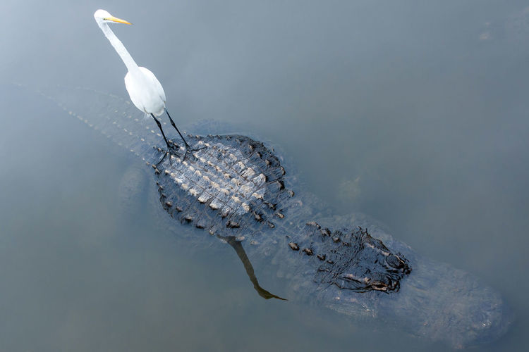 Secure ferry Alligator Animal Themes Animal Wildlife Animals In The Wild Bird Day Great Egret Nature No People Outdoors Reptile Water