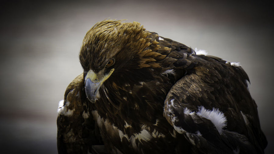 The Eagle Bird Animal Themes Animals In The Wild One Animal Animal Wildlife Bird Of Prey Animal Vertebrate Close-up Focus On Foreground Beak Eagle No People Eagle - Bird Day Nature Looking Animal Body Part Feather  Looking Away Animal Head  Falcon - Bird
