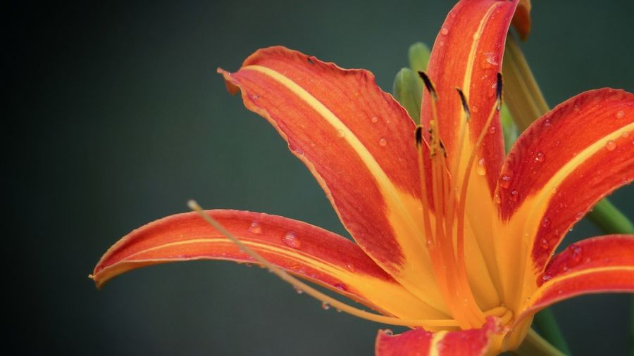 Close-up of wet day lily