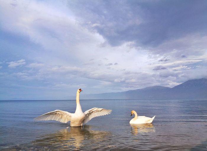 Somewhere Swan Bird Swimming Water Lake Sky Cloud - Sky Water Bird White Swan Swimming Animal