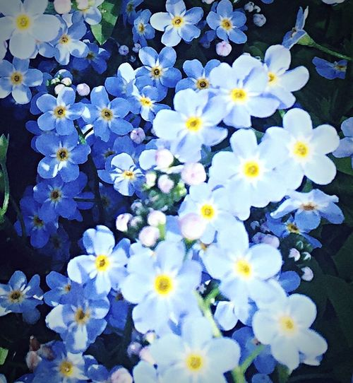 Forget me nots... Forget Me Nots Small Flowers Wildflowers Pretty In The Garden Floral