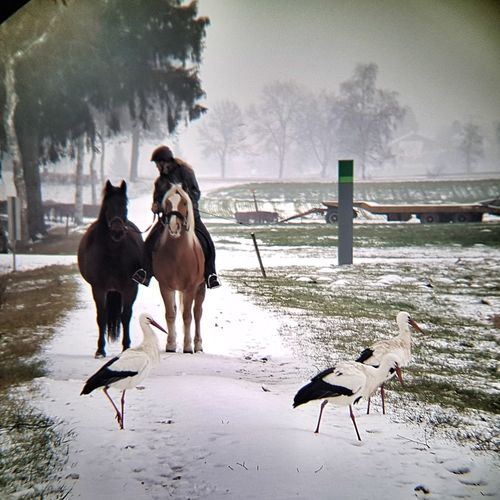Storks and horses Storks Snow Horseback Riding Agriculture Winter Horse Sky