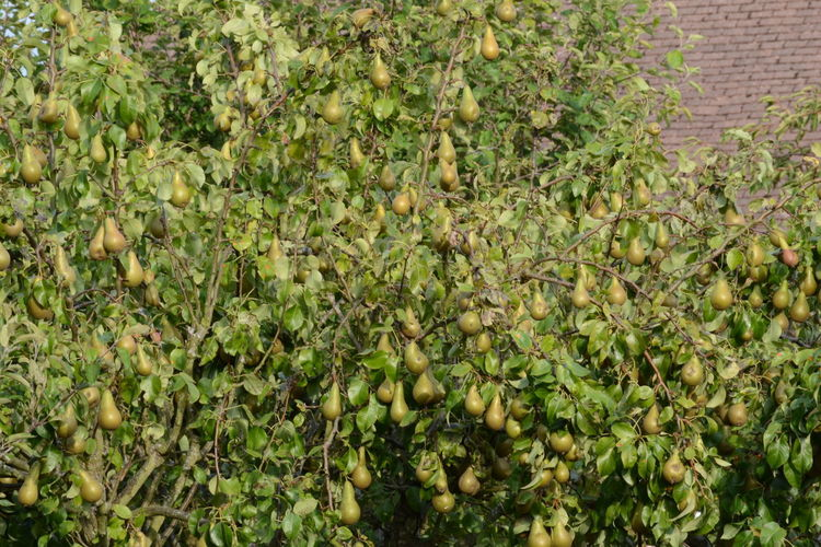 Bumper HarvestAgriculture Close-up Crop  Day Food Food And Drink Freshness Fruit Green Color Growth Healthy Eating Leaf Nature No People Outdoors Pears Plant Tree