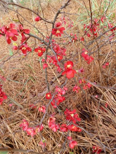 Quince Flowers, Nature And Beauty Country Life Flowers,Plants & Garden