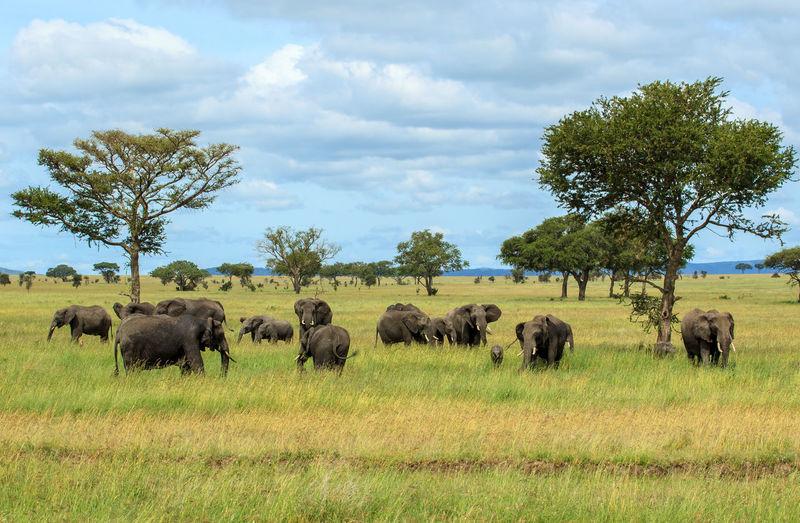 Elephants grazing on field against sky