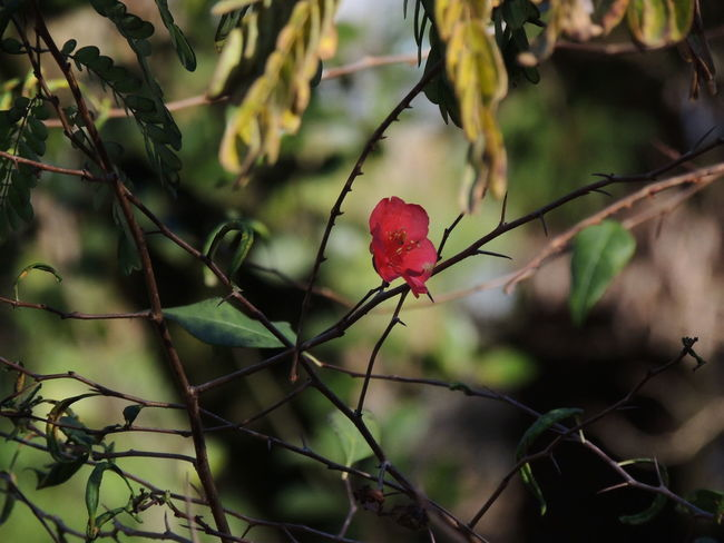 Beauty In Nature Branch Close-up Day Flower Flower Head Focus On Foreground Freshness Growth Nature No People Outdoors Plant Red Tree