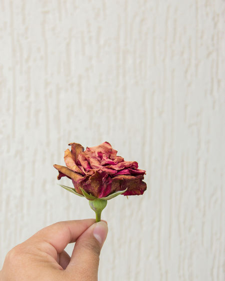 dried rose in hands Human Hand Hand Human Body Part One Person Holding Real People Finger Human Finger Flowering Plant Freshness Flower Body Part Unrecognizable Person Personal Perspective Close-up Lifestyles Plant Wall - Building Feature Fragility Pink Color Flower Head Human Limb