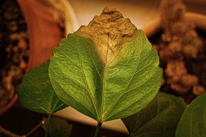 Withering Leaf Nature Close-up Fragility Green Color Tranquility Withered Leaf Wither Freshness Leaf 🍂 Melancholy