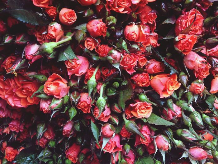 Full frame shot of red flowers
