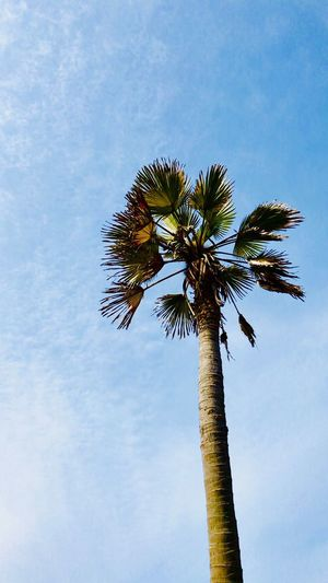 Palm Tree Tree Sky Tropical Climate Low Angle View Plant Tree Trunk Trunk Nature Growth No People Tall - High Beauty In Nature Tranquility Coconut Palm Tree Tropical Tree Cloud - Sky Day Single Tree Outdoors