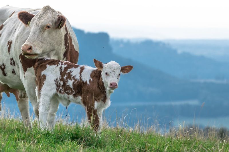 Cow and calf on grassy field