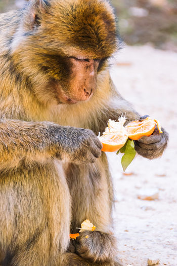 Wildlife shot of a barbary macaque monkey sitting on the ground eating a tangerine in the National Park of Ifrane, Morocco. Africa Animal Atlas Mountain Barbary Barbary Macaque Cedar Delouse Ecology Ecosystem  Endangered Species Endemic Grooming Habitat Ifrane Louse Lousing Macaca Mammal Monkey Morocco National Park Nature Primate Protection Wildlife