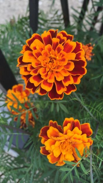 Such beautiful colors come from taking pictures of flowers in this late summertime in Chicago. Flower Freshness Petal Orange Color Beauty In Nature Vibrant Color Outdoors Cityscape Chicago Pspauly63