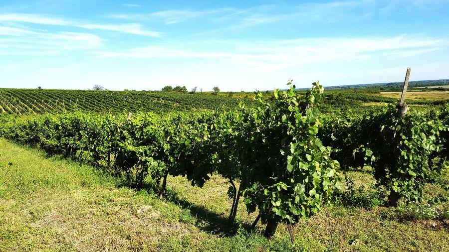 Wineandmore Wine Winery Ungarn Ungarischewine