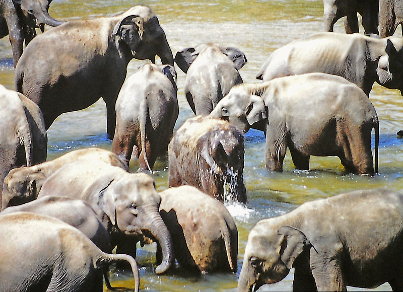 Animal Themes Baby Elephants Playjng Day Domestic Animals Elephant Elephant Family Elephant Orphanage Large Group Of Animals Livestock Mammal Nature No People Outdoors Sri Lanka Travel The World Before Bin Laden Togetherness Water