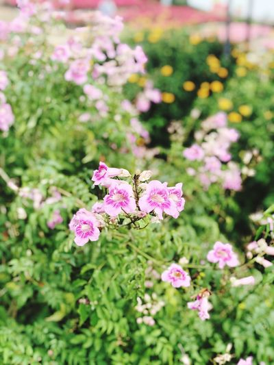 The Bloom Thailand Flowering Plant Flower Plant Freshness Beauty In Nature Pink Color Fragility Flower Head Close-up Petal No People Outdoors Nature Growth Focus On Foreground Botany Field Day Vulnerability