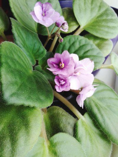 Flowers Flower Blossom In Bloom Flowering Plants African Violet Blooming
