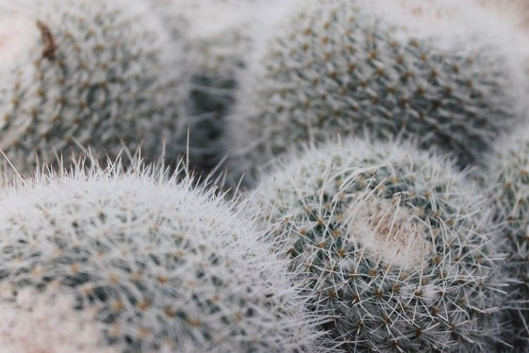 Beauty In Nature Cactus Canary Islands Canon Canon1100d Canonphotography Close-up Day Focus On Foreground Gran Canaria Green Color Grey Growth Nature No People Outdoors Photography Plant Spiked Spikes Thorn VSCO Vscocam