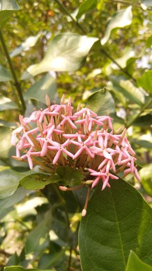 Beautiful Follwer ดอกเข็ม ดอกใม้สีชมพู ดอกไม้ไทย