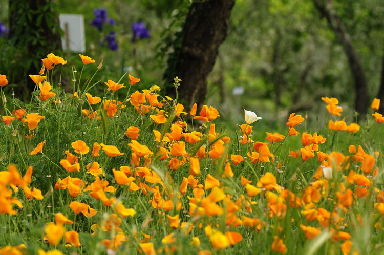 Orange Japanese Poppies in a garden in Florence, Italy. Poppies In Bloom Poppy Fields Beauty In Nature Blooming Flower Field Garden Growth Land Nature No People Orange Color Orange Flowers 😍🌺🌺🌺 Outdoors Plant Poppies  Poppies Blooming Poppies Field Poppies🌸 Poppy Poppy Flower