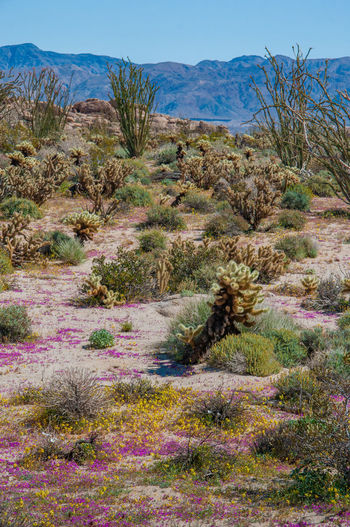 Anza Borrego Desert Flowers Plant Tranquil Scene Tranquility Scenics - Nature Beauty In Nature Landscape Nature Land Growth Environment Non-urban Scene No People Sky Day Tree Mountain Remote Grass Desert Idyllic Outdoors Climate Arid Climate Semi-arid Anza Borrego