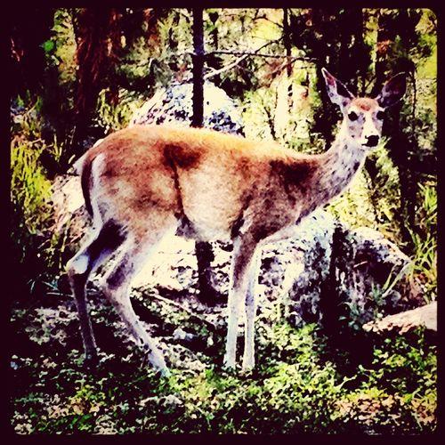 Deer Wildlife