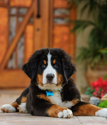 Bernese Mountain Dog puppy Bernese Bernese Mountain Dog Canine Cute Day Dog Dog Photography Domestic Animals Entranceway House Looking Looking At Camera Lying Down Mountain Dog No People One Animal Pets Portrait Puppy Young Animal