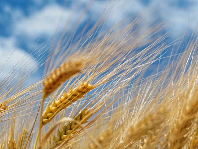 Agriculture Beauty In Nature Cereal Plant Claudetheen Clouds Crop  Ear Of Wheat Farm Field Nature Rye - Grain Sky Summer Wheat Gold Colored