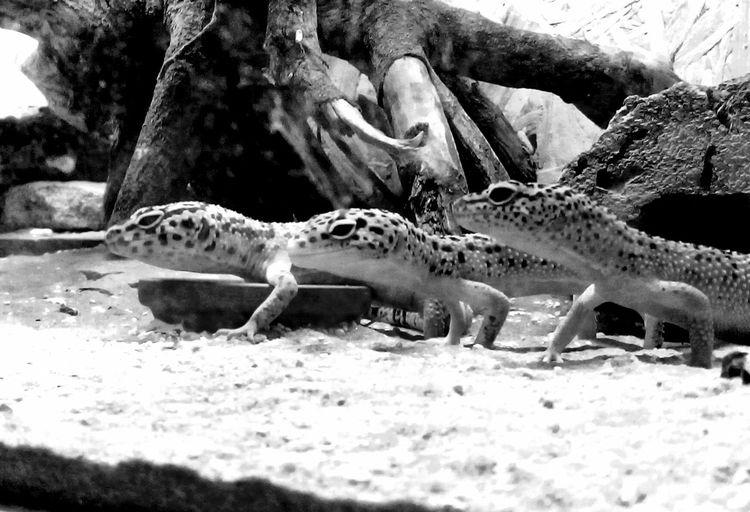 Nature Geckos Leopardgecko Terraristik Terraristic Reptile