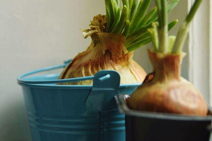 Onions Healthy Bucket Bluegreen