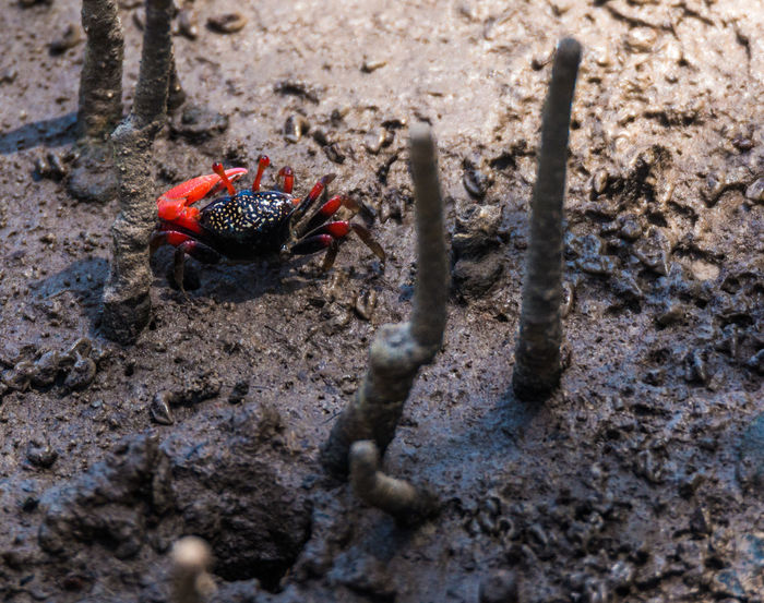 Beauty In Nature Black Color Close-up Crab Day Elevated View Focus On Foreground Ground Mangrove Crab Mangrove Forest Mangrove Life Nature No People Outdoors Red Selective Focus Small Crab Tranquility