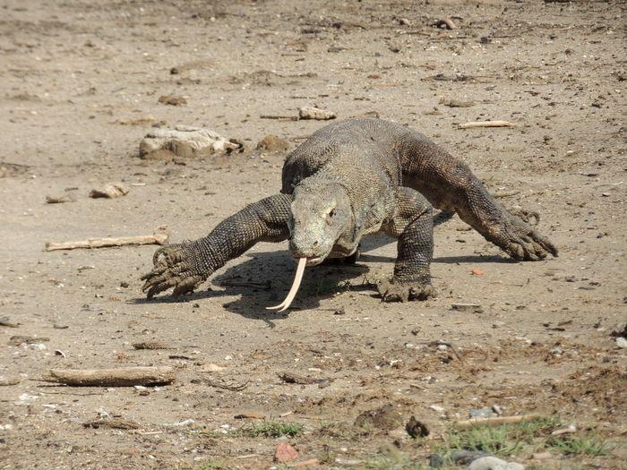 Komodo dragon lizard on a field in the island of rinca, indonesia.