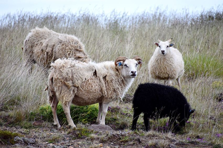 Icelandic Sheep Iceland Icelandic Sheep Root Plnt Free Range Four Animals Group Of Animals Mammal Livestock Domestic Animals Animal Domestic Animal Themes Grass No People Herbivorous Sheep Field Nature Day Plant Outdoors