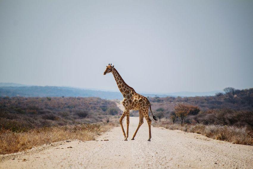 Namibia 08 2016 Animals In The Wild Giraffe Animal Wildlife Animal Nature Outdoors Namibia Africa Wanderlust Waphaphotographer Globetrotter Traveling Travel Traveler Wild Wildlife Freedom Liveforadventure EyeEmNewHere