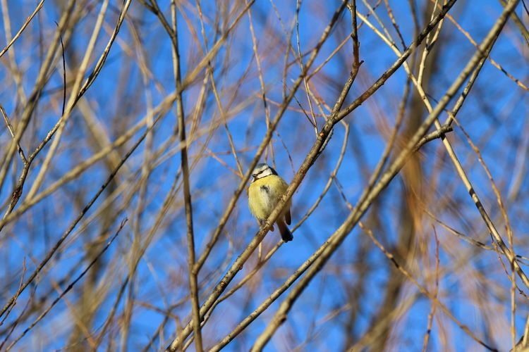 Animal Themes Animal Wildlife Animals In The Wild Bare Tree Beauty In Nature Bird Bird Photography Birdcollection Birds Of EyeEm  Blåmes Branch Close-up Day Nature No People One Animal Outdoors Perching Sky Songbird  Tree Winterbird