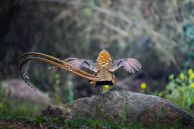 Rear view of pheasant perching on rock