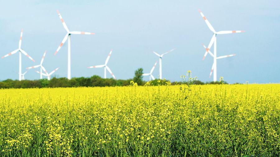 Windmills In Oilseed Field Against Clear Sky