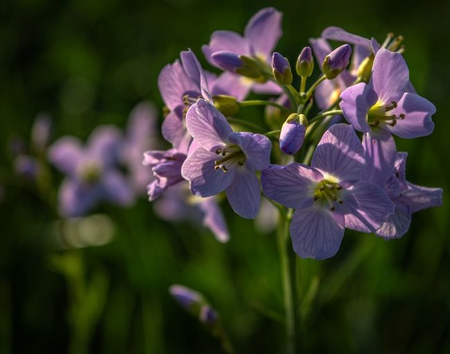 Cuckooflower Cardamine Pratensis Backlit Beauty In Nature Blossom Close-up Cuckooflower Flora Flower Flower Head Flowering Plant Focus On Foreground Fragility Freshness Growth Inflorescence Lady's Smock Mayflower Milkmaids Nature No People Outdoors Petal Purple Selective Focus Spring Flowers