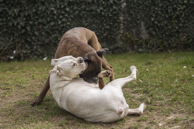 Dogs fighting on field