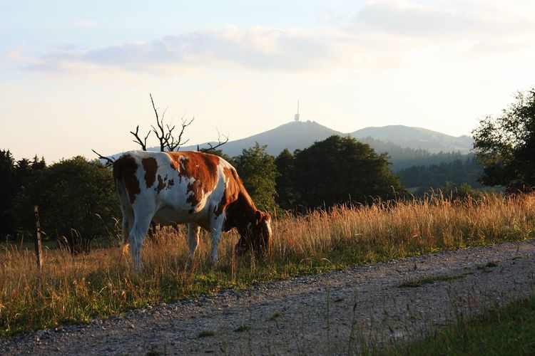 Animal Agriculture Mountain Mammal Landscape Rural Scene Outdoors Sky Nature Domestic Animals No People Animal Themes Sundown Cow Switzerland Chasseral Grass Field Evening Glow EyeEm Best Shots - Nature EyeEm Selects Herd Animal Agriculture Beauty In Nature Nature The Traveler - 2018 EyeEm Awards