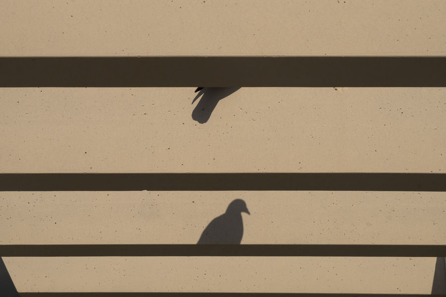Pigeon Pigeons Shadow Shadows Silhouette Shade Shape Shapes And Forms Bird Minimal Minimalism White Background Split Splits Divided Dividing The Week on EyeEm