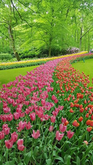 Rivers of flowers Tulips Tulip Red Pink Park Park - Man Made Space Keukenhof Keukenhof Garden Springtime Daylight Sunny Travel Destinations Travel Photography Flower Head Flower Field Grass Plant Blooming Green Color Plant Life In Bloom Blossom Flora Botany Spring The Great Outdoors - 2018 EyeEm Awards The Traveler - 2018 EyeEm Awards This Is Natural Beauty 17.62° The Art Of Street Photography