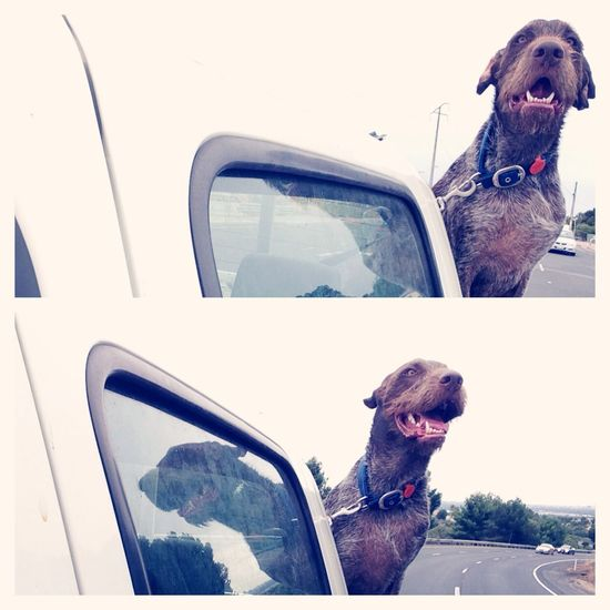 First day of 2014! Have a ride in the back of daddy's ute after morning swim at the beach.. Hello World Enjoying Life German Wirehaired Pointer Ilovemydog